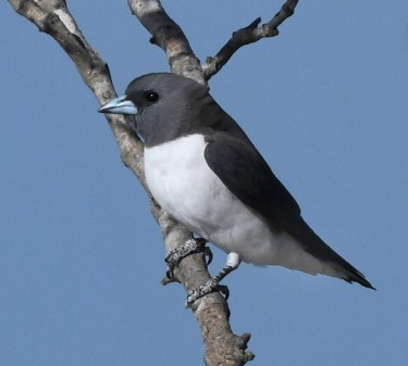 white-breasted-woodswallow_tahlee-nsw-australia_lah_8726