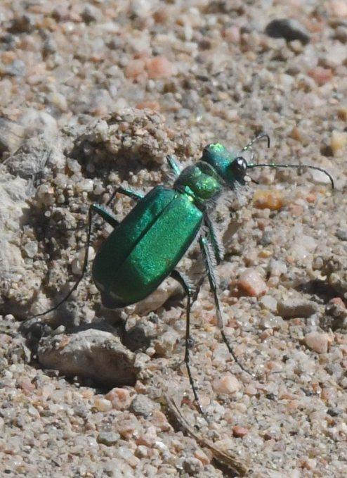 Cicindela denverensis_Green Claybank Tiger Beetle_LakePuebloSP-CO_LAH_5449