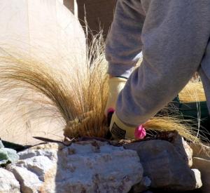 Cutting back Calamagrostis arund. 'Brachytricha' - Feather Reed Grass @CarnegieLib 16apr07 LAH 753