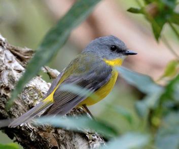 eastern-yellow-robin_fernbankcreek-qld-australia_lah_0162f