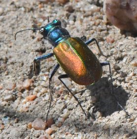 Festive Tiger Beetle_LakePuebloSP-CO_LAH_5518