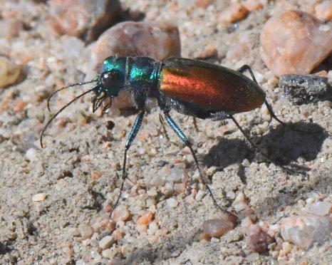 Festive Tiger Beetle_LakePuebloSP-CO_LAH_5529