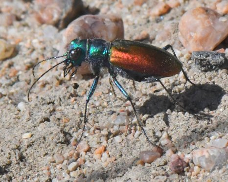 Festive Tiger Beetle_LakePuebloSP-CO_LAH_5529