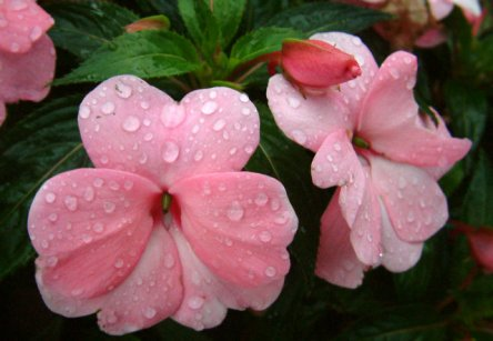 impatiens-super-sonic-pastel-pink-2004-csu-lah-192