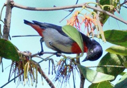 mistletoe-bird_fernbankcreek-qld-australia_lah_9823f