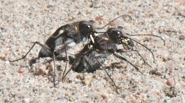 Oblique-lined Tiger Beetles ovipositing_LakePuebloSP-CO_LAH_5322