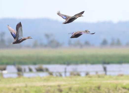 Pacific Black Ducks_BelmoreRiver-QLD-Australia_LAH_0416.jpg