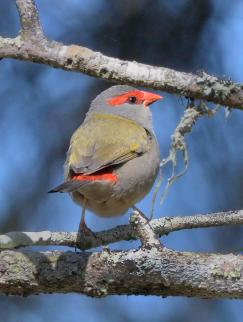 red-browed-finch_fernbankcreek-qld-australia_lah_9901f