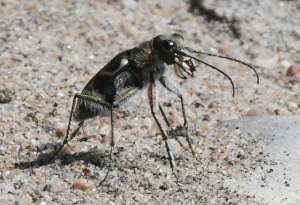 Tiger Beetle_LakePuebloSP-CO_LAH_5021