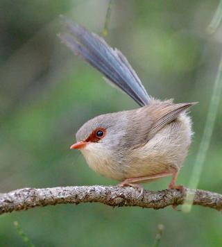 variegated-fairy-wren_fernbankcreek-qld-australia_lah_0129f