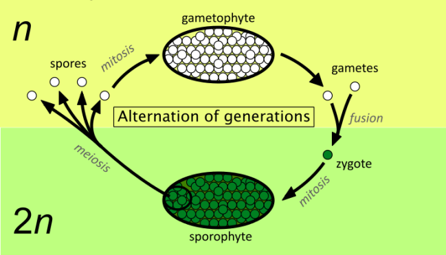 Alternation_of_generations_simpler.svg.png