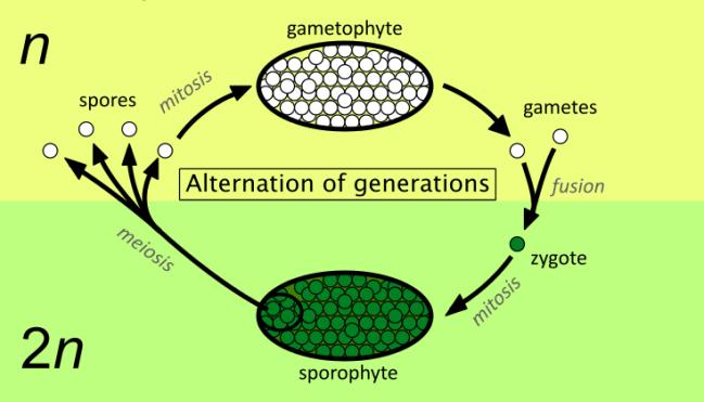 Alternation_of_generations_simpler.svg.png