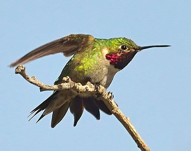 Especies del Hummingbird de California Blurbs | Hummingbird Salud