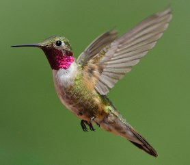Broad-tailed Hummingbird_RedRocksRanch-Hwy115-CO_LAH_3787