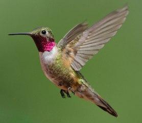 Broad-tailed Hummingbird_RedRocksRanch-Hwy115-CO_LAH_3787