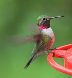Broadtail Hummingbird @home 20090601 LAH 775r