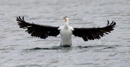 little-pied-cormorant_beach-np_lah_0636
