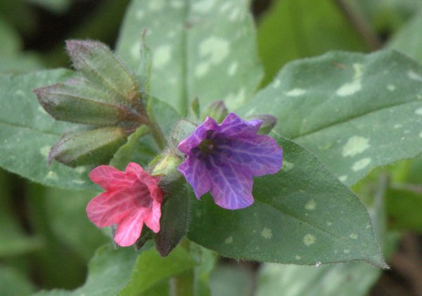 Pulmonaria_Lungwort_DBG-CO_LAH_4436
