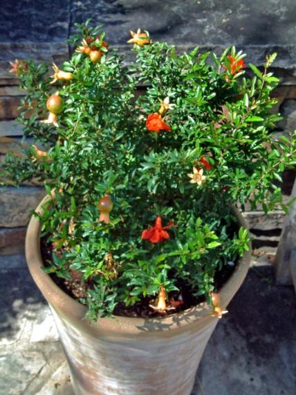 Punica granatum 'Nana' - Dwarf Pomegranate in container @DBG 19sept05 LAH 286