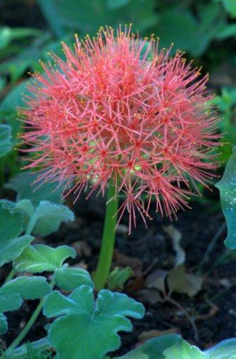 Scadoxus multiflorus_Blood Lily_DBG_LAH_7800
