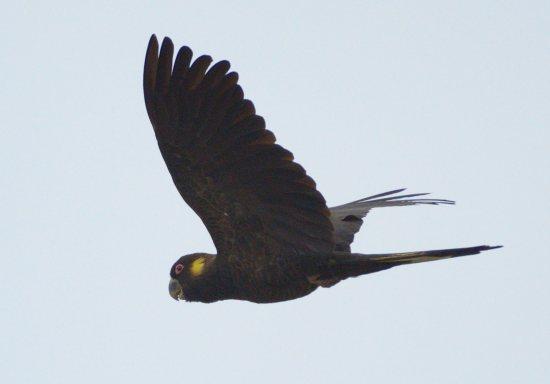 yellow-tailed-black-cockatoo_yamba-nsw-australia_lah_0690