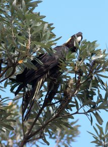 yellow-tailed-black-cockatoo_yamba-nsw-australia_lah_0730