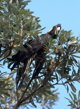 yellow-tailed-black-cockatoo_yamba-nsw-australia_lah_0730