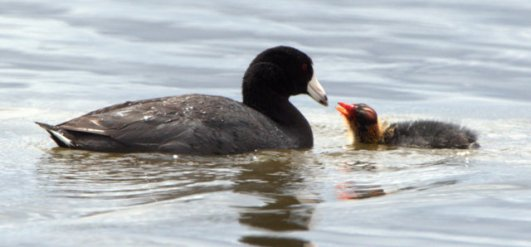 american-coot-babies_montevistanwr-co_lah_2851