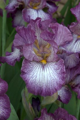 Bearded iris_DBG_LAH_6757