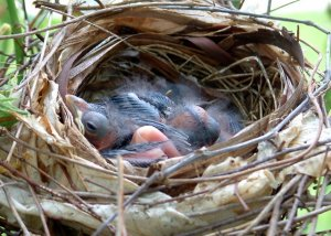 Cardinal nestlings @Williamsburg LAH 001