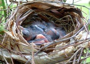 Cardinal nestlings @Williamsburg LAH 001
