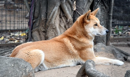 dingo_lonepinekoalasanctuary-brisbane-qld-australia_lah_2006