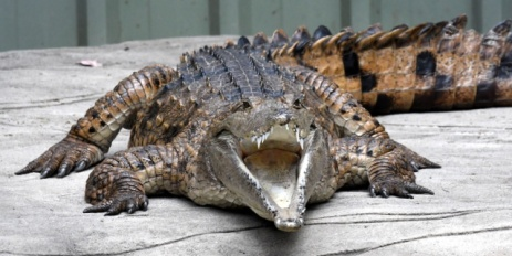 freshwater-crocodile_lonepinekoalasanctuary-brisbane-qld-australia_lah_1732