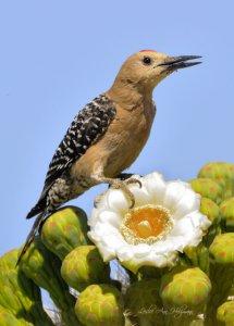 Gila Woodpecker on Saguaro_DesertMuseum-TucsonAZ_20100512_LAH_2259-2