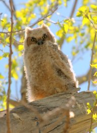 Great Horned Owlet_FCNC_LAH_1476