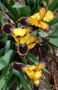 Iris 'Bumble Bee'- Bearded Iris @LIG LAH 001
