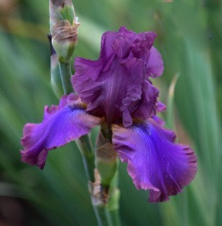 Iris germanica 'Cantina' - Tall Bearded Iris_DBG_20090915_LAH_0582