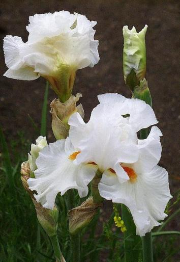 Iris germanica white bloom