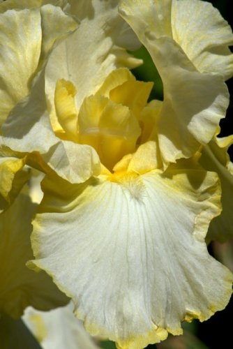 Iris germanica_Bearded Iris_DBG-CO_LAH_6293