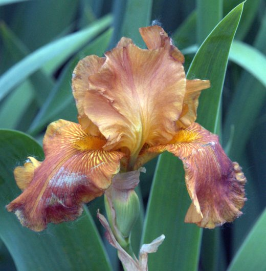 Iris germanica_HAS-CoSpgsCO_LAH_0243