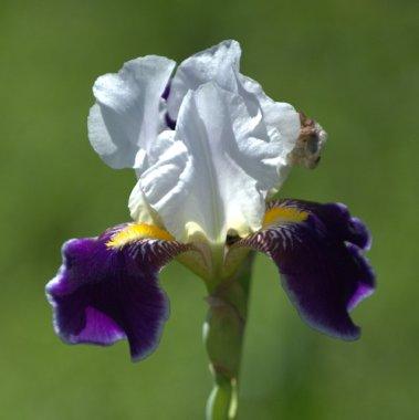 Iris germanica_XG-CoSpgsCO_LAH_9599