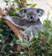 koala_lonepinekoalasanctuary-brisbane-qld-australia_lah_1822