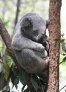 koala_lonepinekoalasanctuary-brisbane-qld-australia_lah_1840