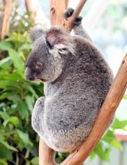 koala_lonepinekoalasanctuary-brisbane-qld-australia_lah_1935