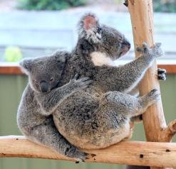 koala_lonepinekoalasanctuary-brisbane-qld-australia_lah_1943