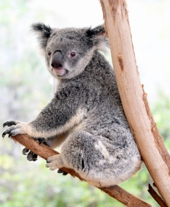 koala_lonepinekoalasanctuary-brisbane-qld-australia_lah_1957