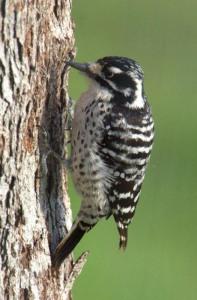 Nuttall's Woodpecker_Smartsville-CA_LAH_0762