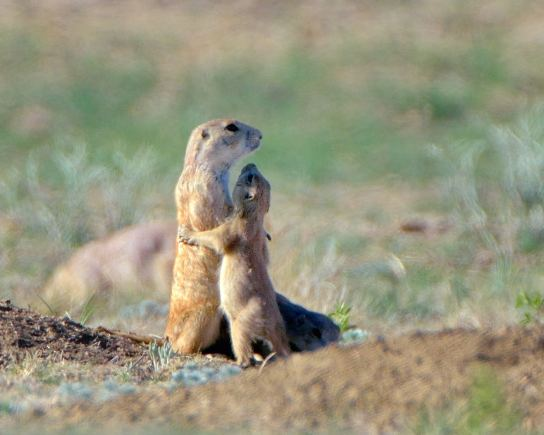 Prairie Dogs, Rocky Mountain Arsenal NWR, Colorado