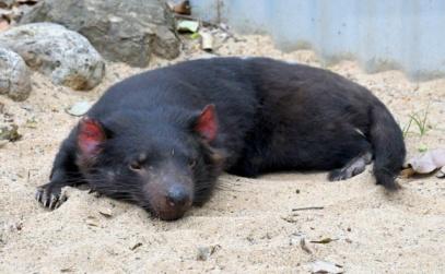 tasmanian-devil_lonepinekoalasanctuary-brisbane-qld-australia_lah_2001