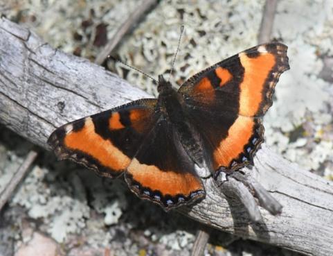 1 Milbert's Tortoiseshell Butterfly_EmeraldValley-EPC-CO_LAH_0949